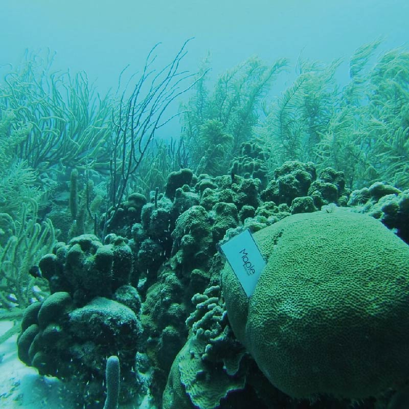 La raja – Corales – Mar Caribe