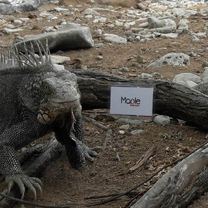 La iguana Mary – Isla San Andres – COL